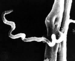 spirochete